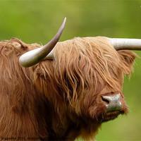Buy canvas prints of West Highland Cow by John Biggadike