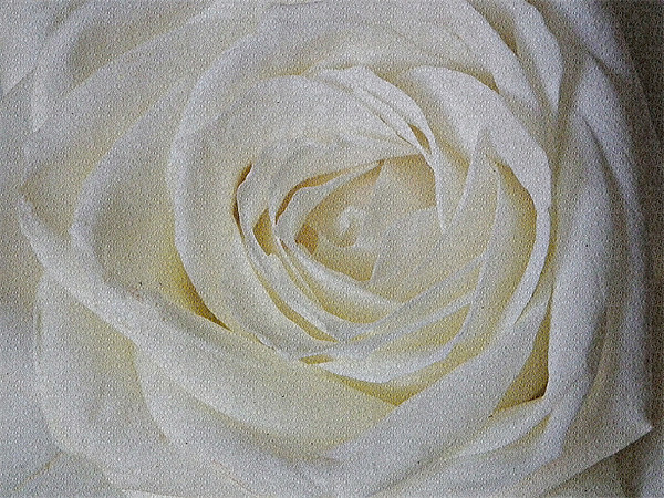 White  Rose Canvas print by Jules Camfield