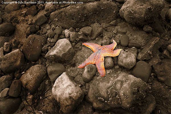 Starfish on the rocks Canvas Print by Dan Davidson