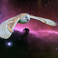Buy canvas prints of Barn Owl v. Horse head Nebula. by Heather Goodwin