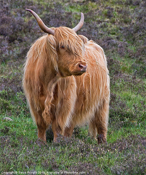 Highland Cow Canvas print by David Pringle