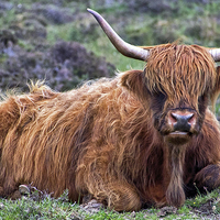 Buy canvas prints of Highland Cow by David Pringle