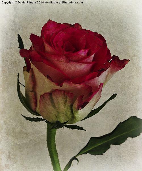 Rose Flower Canvas Print by David Pringle