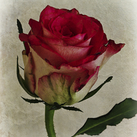 Buy canvas prints of Rose Flower by David Pringle