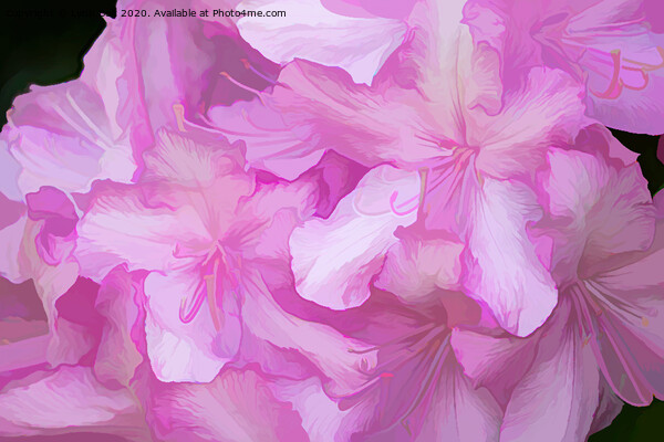 Acrylic Pink Rhododendrons Framed Mounted Print by Lynn Bolt