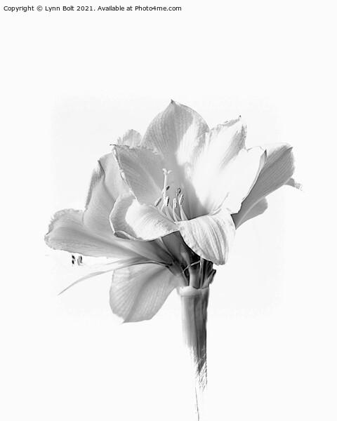 Amaryllis in Black and White Framed Print by Lynn Bolt