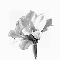Buy canvas prints of Amaryllis in Black and White by Lynn Bolt