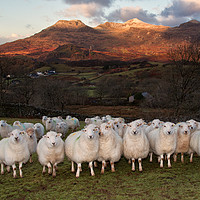 Buy canvas prints of Sheep at Frondirion by Rory Trappe