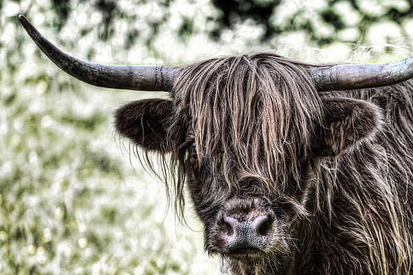 Highland Cow Canvas print by Kevin Tate