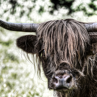 Buy canvas prints of Highland Cow by Kevin Tate