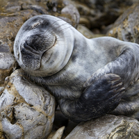 Buy canvas prints of Baby Seal by Northeast Images Daniel Dent