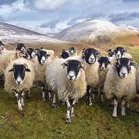 Buy canvas prints of The Inquisitive Sheep by Jason Connolly