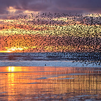 Buy canvas prints of Starlings At Sunset by Jason Connolly