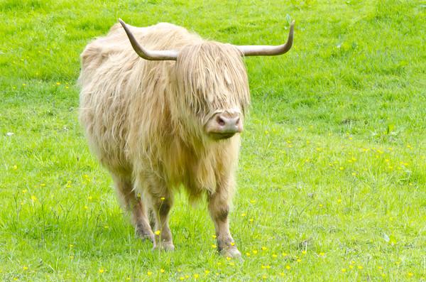 Glasgow Highland Cow Pollok Park Canvas print by Gerry Greer