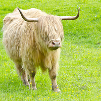 Buy canvas prints of Glasgow Highland Cow Pollok Park by Gerry Greer