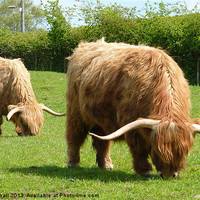 Buy canvas prints of Highland Cattle. by Lilian Marshall