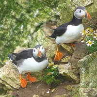 Buy canvas prints of  Puffins on the Cliffs..  by Lilian Marshall