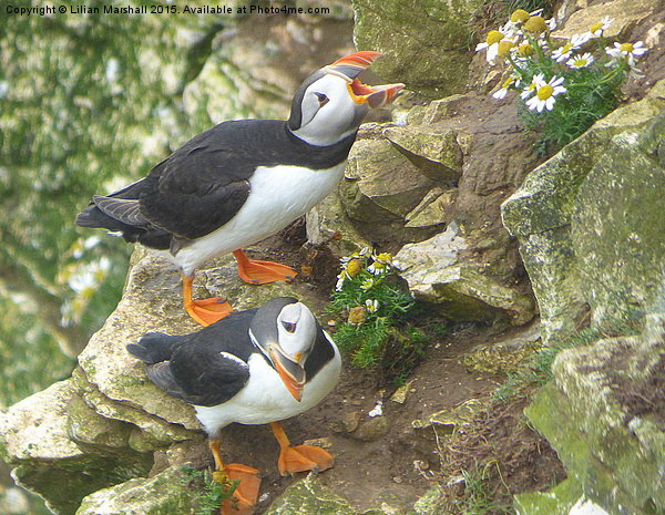 Puffins at Bempton Cliffs.  Canvas print by Lilian Marshall