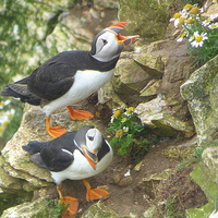 Buy canvas prints of  Puffins at Bempton Cliffs.  by Lilian Marshall