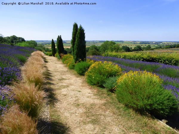 Yorkshire lavender Farm.  Canvas print by Lilian Marshall