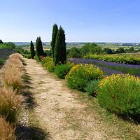 Buy canvas prints of Yorkshire lavender Farm.  by Lilian Marshall