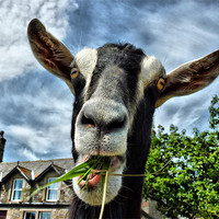 Buy canvas prints of The Nosey Goat by Lilian Marshall