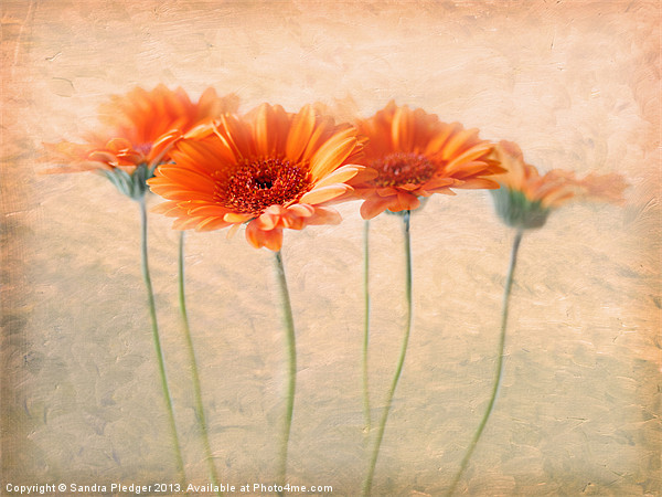 Orange Gerberas Canvas print by Sandra Pledger