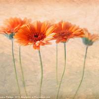 Buy canvas prints of Orange Gerberas by Sandra Pledger