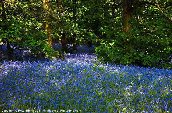 Bluebells Galore in the Woods Canvas Print by Peter Blunn