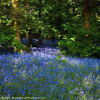 Buy canvas prints of Bluebells Galore in the Woods by Peter Blunn