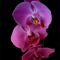 Buy canvas prints of Phalaenopsis purple Orchids on black background. by Robert Gipson