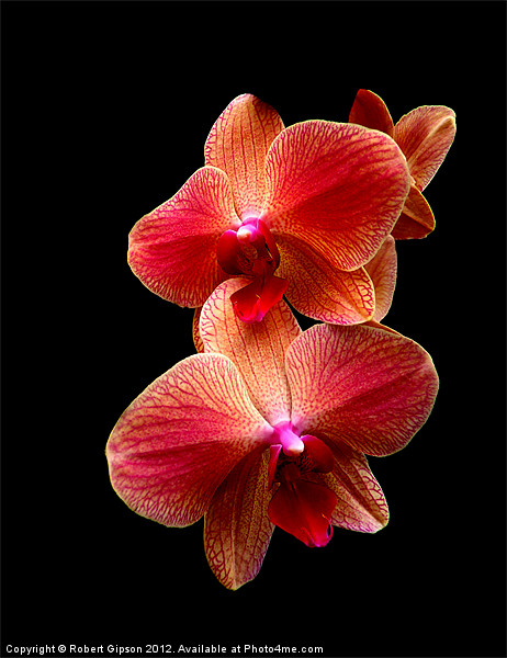 Pink  Orchids on black background Canvas print by Robert Gipson