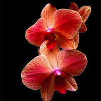 Buy canvas prints of Pink  Orchids on black background by Robert Gipson