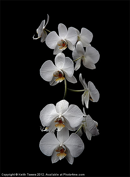 White Dendrobium Orchid Canvas & prints Canvas print by Keith Towers Canvases & Prints