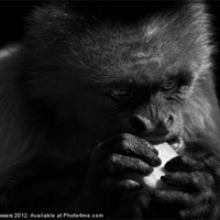 Buy canvas prints of Capuchin Monkey Canvases & Prints by Keith Towers Canvases & Prints