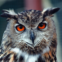 Buy canvas prints of Eurasian Eagle Owl Canvases and Prints by Keith Towers Canvases & Prints
