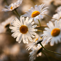 Buy canvas prints of Summer Daisy by Andrew Wheatley