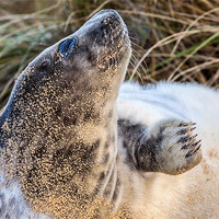 Buy canvas prints of Grey Seal by Gary Rayner