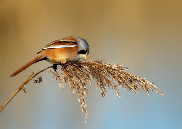 Animal bird Acrylic by peter clinch