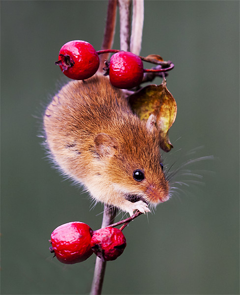 Harvest Mouse Canvas print by Elaine Whitby