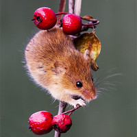 Buy canvas prints of Harvest Mouse by Elaine Whitby