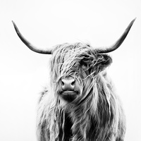 Buy canvas prints of Portrait of a Highland Cow by Dorit Fuhg
