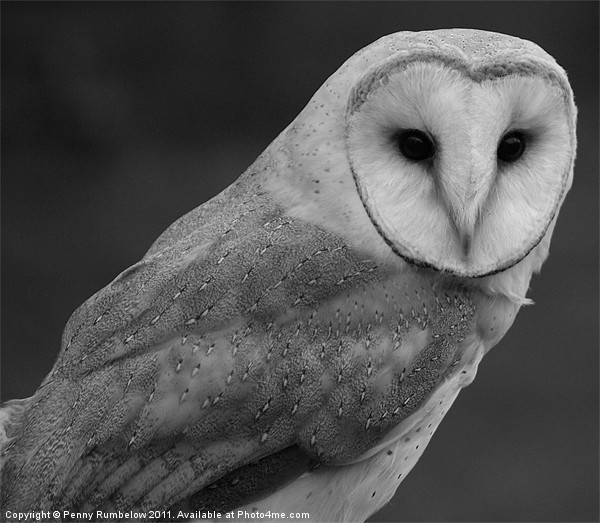 barn owl Canvas print by Elouera Photography