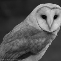 Buy canvas prints of barn owl by Elouera Photography