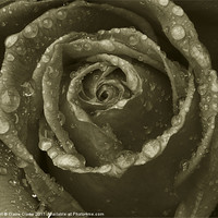 Buy canvas prints of black and white rose by Claire Clarke