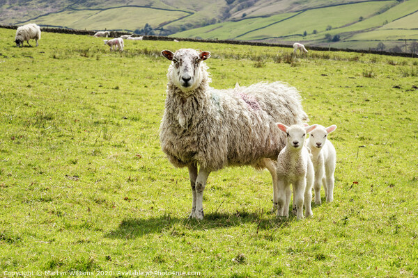One Old Sheep And Two Young Lambs Canvas Print by Martyn Williams