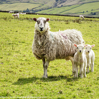 Buy canvas prints of One Old Sheep And Two Young Lambs by Martyn Williams