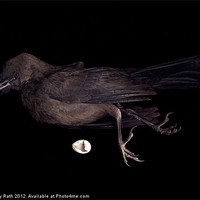 Buy canvas prints of Black Bird by Mary Rath
