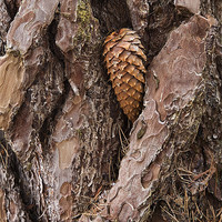 Buy canvas prints of Pine Cone on Tree Trunk by John Barrie