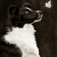 Buy canvas prints of Border Collie with Butterfly by Victoria Davies